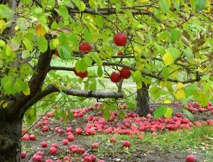 Apple_Orchard-300x228
